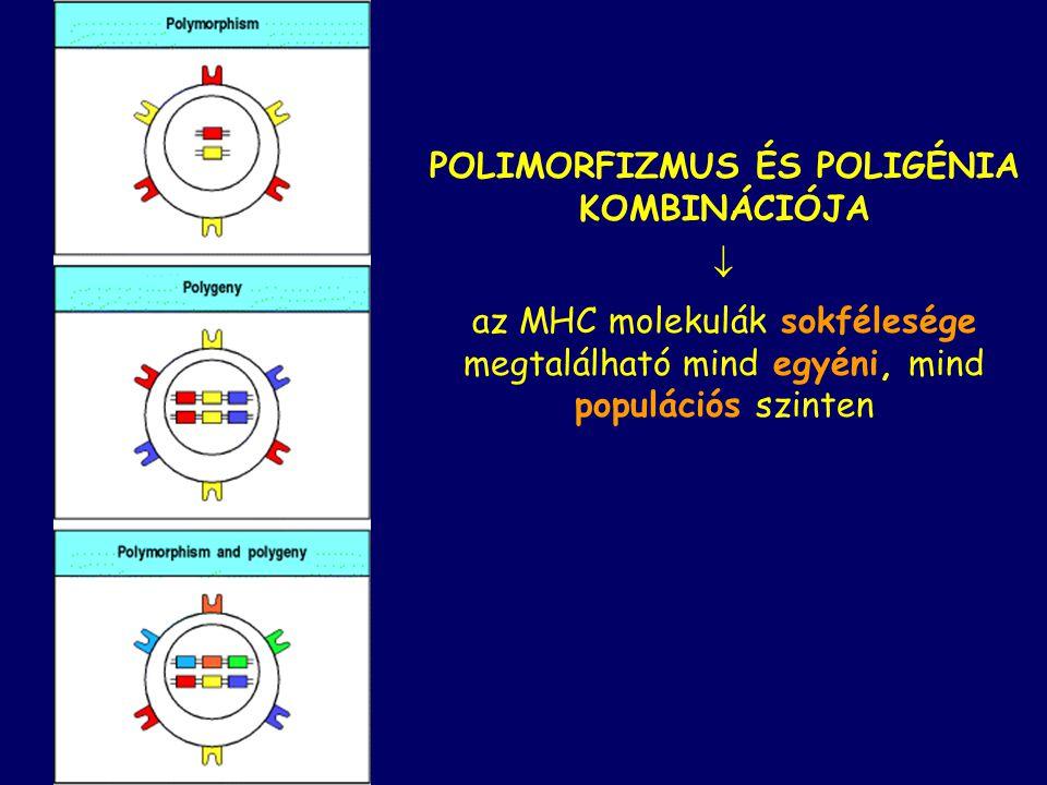 POLIMORFIZMUS ÉS POLIGÉNIA KOMBINÁCIÓJA  az MHC molekulák sokfélesége megtalálható mind egyéni, mind populációs szinten
