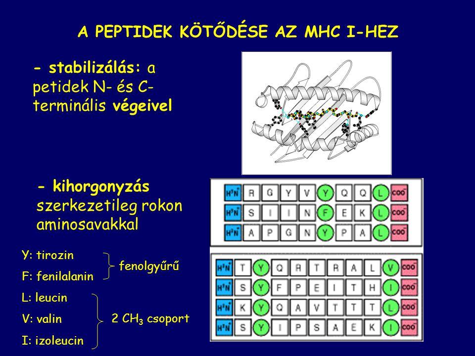 A PEPTIDEK KÖTŐDÉSE AZ MHC I-HEZ - stabilizálás: a petidek N- és C- terminális végeivel - kihorgonyzás szerkezetileg rokon aminosavakkal Y: tirozin F: