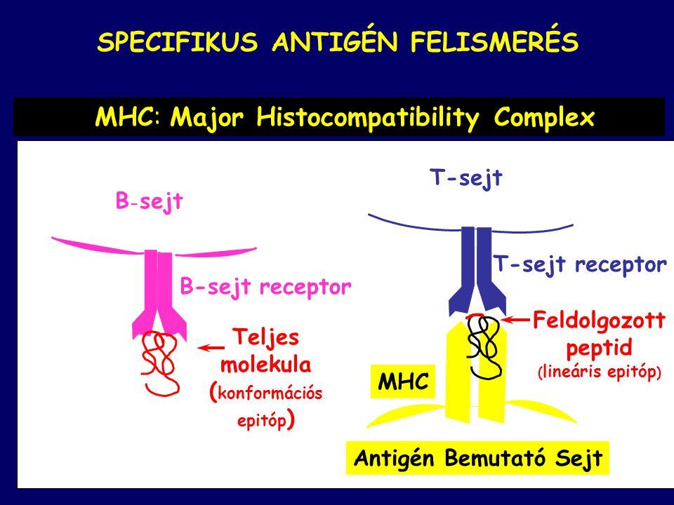 SPECIFIKUS ANTIGÉN FELISMERÉS T-sejt T-sejt receptor Antigén Bemutató Sejt MHC B - sejt B-sejt receptor Feldolgozott peptid ( lineáris epitóp ) Teljes