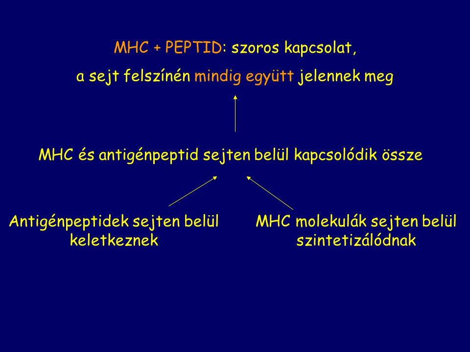 MHC + PEPTID: szoros kapcsolat, a sejt felszínén mindig együtt jelennek meg Antigénpeptidek sejten belül keletkeznek MHC molekulák sejten belül szinte