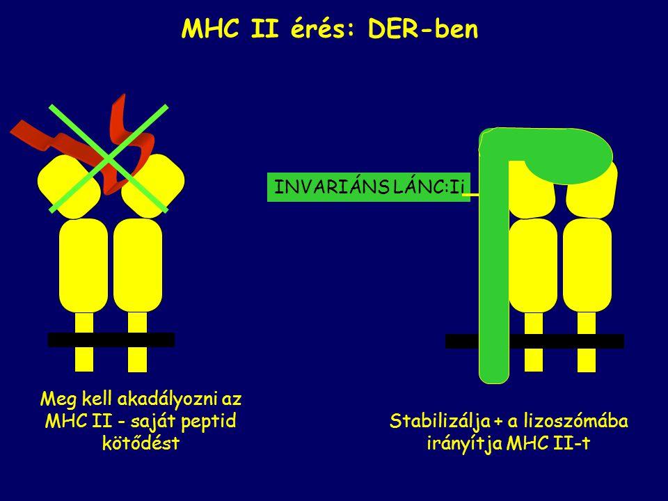 Meg kell akadályozni az MHC II - saját peptid kötődést MHC II érés: DER-ben Stabilizálja + a lizoszómába irányítja MHC II-t INVARIÁNS LÁNC:Ii