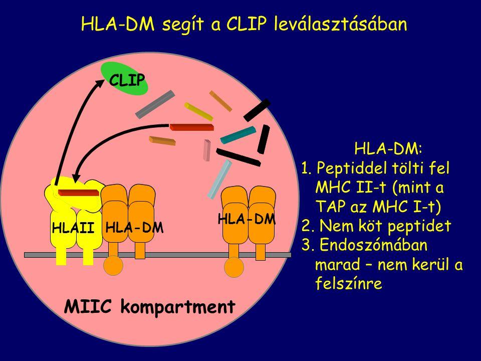 HLA-DM segít a CLIP leválasztásában HLA-DM: 1. Peptiddel tölti fel MHC II-t (mint a TAP az MHC I-t) 2. Nem köt peptidet 3. Endoszómában marad – nem ke