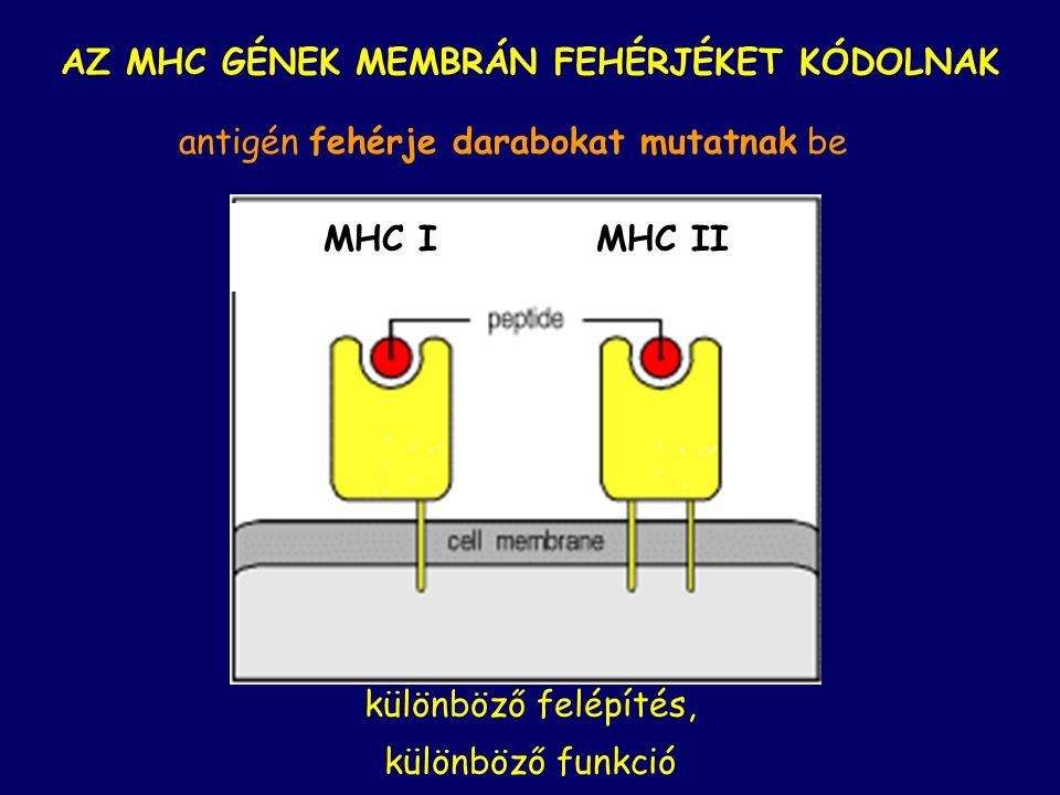AZ MHC GÉNEK MEMBRÁN FEHÉRJÉKET KÓDOLNAK különböző felépítés, különböző funkció antigén fehérje darabokat mutatnak be MHC IMHC II