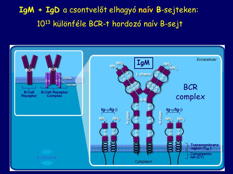 IgM + IgD a csontvelőt elhagyó naív B-sejteken: 10 13 különféle BCR-t hordozó naív B-sejt BCR complex IgM