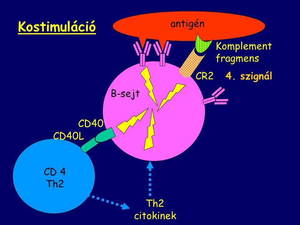 B-sejt antigén CD 4 Th2 CD40L CD40 Th2 citokinek Komplement fragmens CR2 4. szignál Kostimuláció