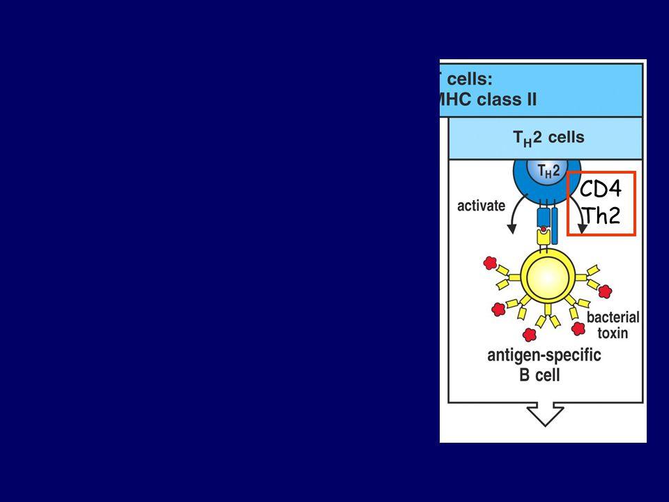 B1 (az összes B-sejt 5%-a) CD5+ Hagyományos B2 Variábilis régió változékonysága Korlátozott (nincs affinitásérés) Nagyon változékony (+ affinitásérés) Th kostimulációnincsTh2 kell Ig termelésSpontán módon IgM (természetes antitest) Kostimulációra IgM, IgG, IgA, IgE Választ kiváltó antigén Főleg szénhidrátFőleg fehérje (kismértékben egyéb) keletkezésÖnmegújuló képességa csontvelőből pótlódik