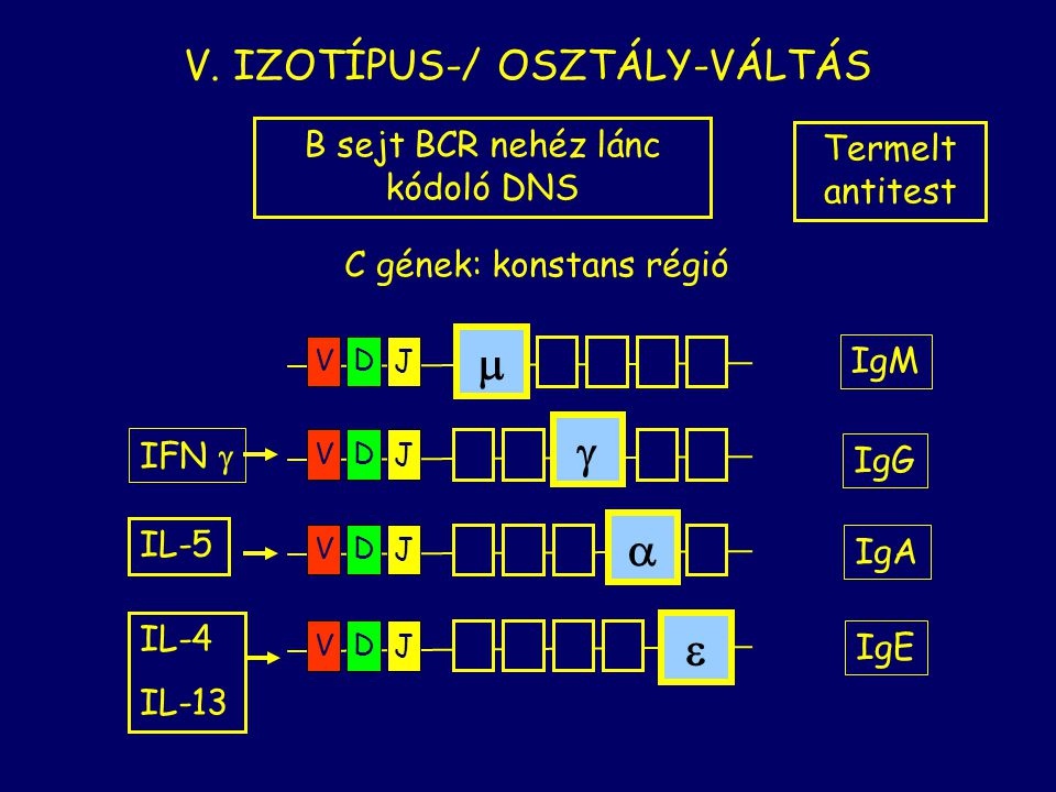 VDJ  IgM VDJ  IFN  IgG IL-5 IgA IL-4 IL-13 IgE VDJ  VDJ  C gének: konstans régió V. IZOTÍPUS-/ OSZTÁLY-VÁLTÁS B sejt BCR nehéz lánc kódoló DNS Te
