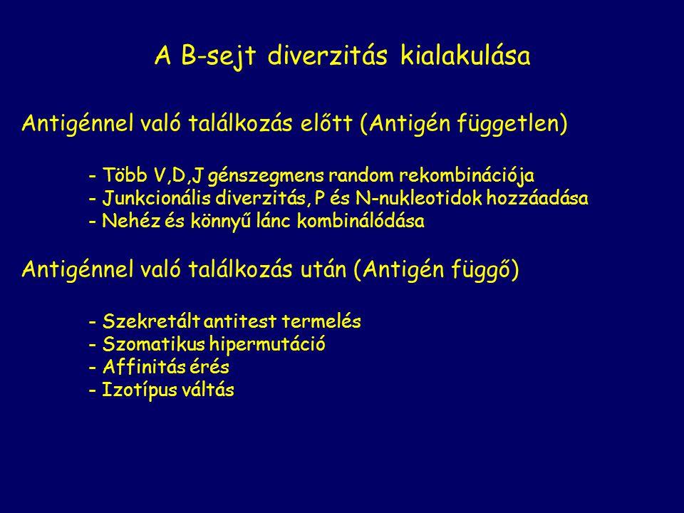 A B-sejt diverzitás kialakulása Antigénnel való találkozás előtt (Antigén független) - Több V,D,J génszegmens random rekombinációja - Junkcionális div