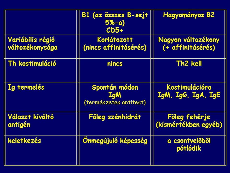 B1 (az összes B-sejt 5%-a) CD5+ Hagyományos B2 Variábilis régió változékonysága Korlátozott (nincs affinitásérés) Nagyon változékony (+ affinitásérés)