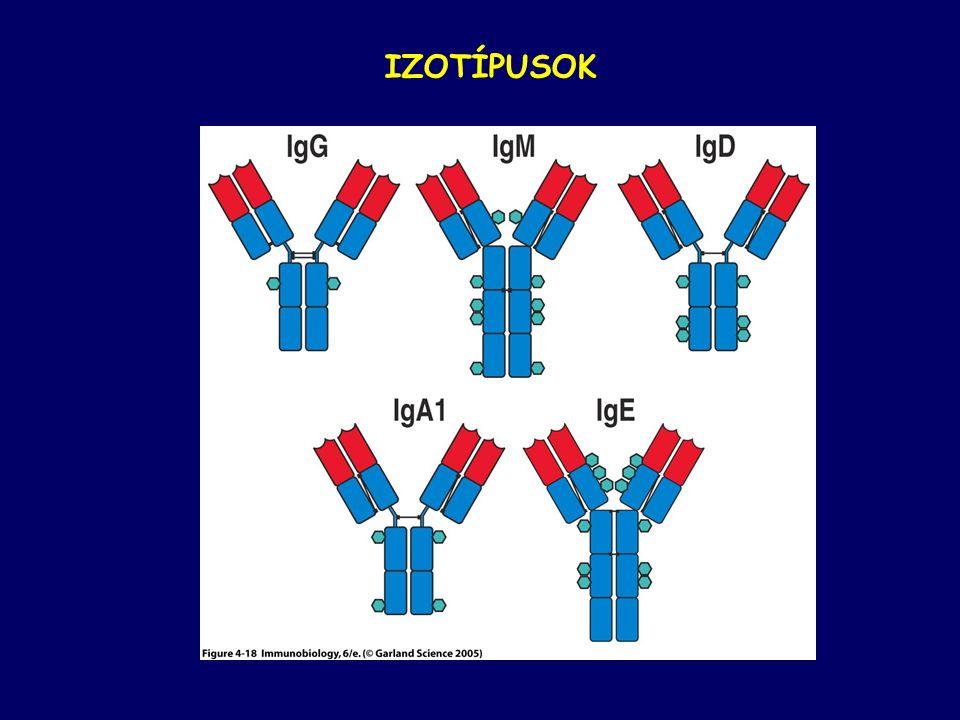 Antigén specifikus osztódó B-sejtek alkotják nyiorokcsomó germinális centrumát Egy germinális centrum = egy-két B-sejt klón.