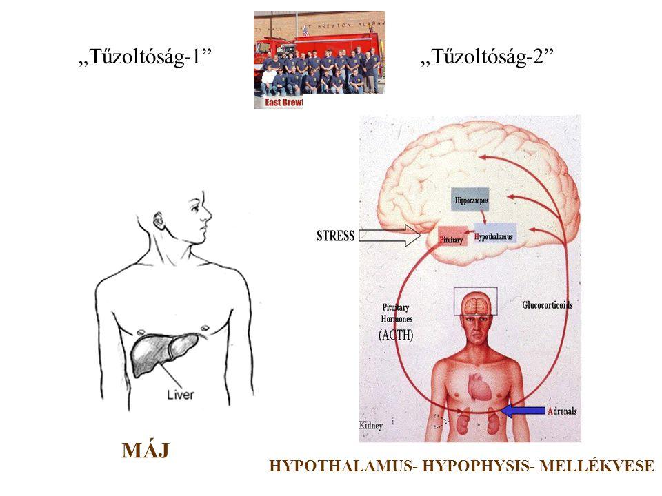 """""""Riasztás makrofág endotel fibroblaszt keratinocita T sejt TESTSZERTE ELŐFORDULÓ SEJTEK IL-6 IL-1 TNF  IFN  *"""