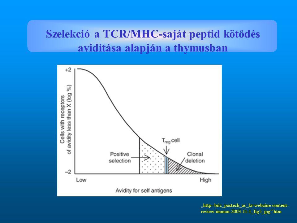 """""""http--bric_postech_ac_kr-webzine-content- review-immun-2003-11-1_fig5_jpg"""".htm Szelekció a TCR/MHC-saját peptid kötődés aviditása alapján a thymusban"""