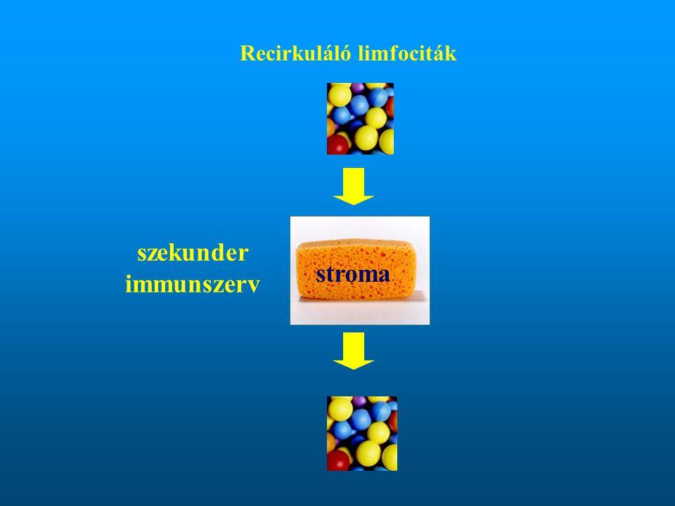 Recirkuláló limfociták stroma szekunder immunszerv
