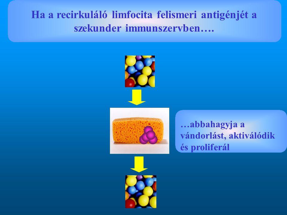 Ha a recirkuláló limfocita felismeri antigénjét a szekunder immunszervben…. …abbahagyja a vándorlást, aktiválódik és proliferál