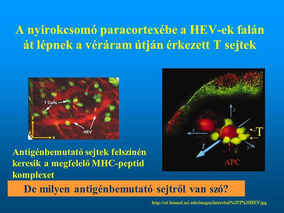 A nyirokcsomó paracortexébe a HEV-ek falán át lépnek a véráram útján érkezett T sejtek http://crt.biomol.uci.edu/images/intravital%20T%20HEV.jpg Antig