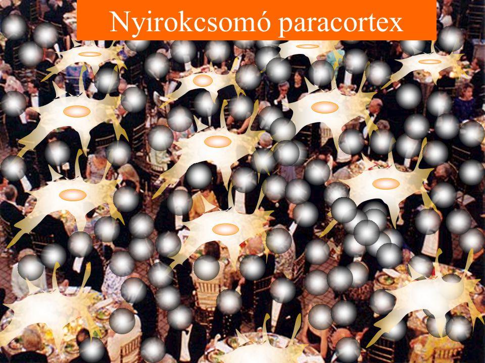 Nyirokcsomó paracortex