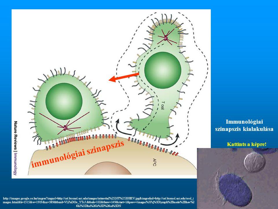 immunológiai szinapszis Kattints a képre! Immunológiai szinapszis kialakulása http://images.google.co.hu/imgres?imgurl=http://crt.biomol.uci.edu/image