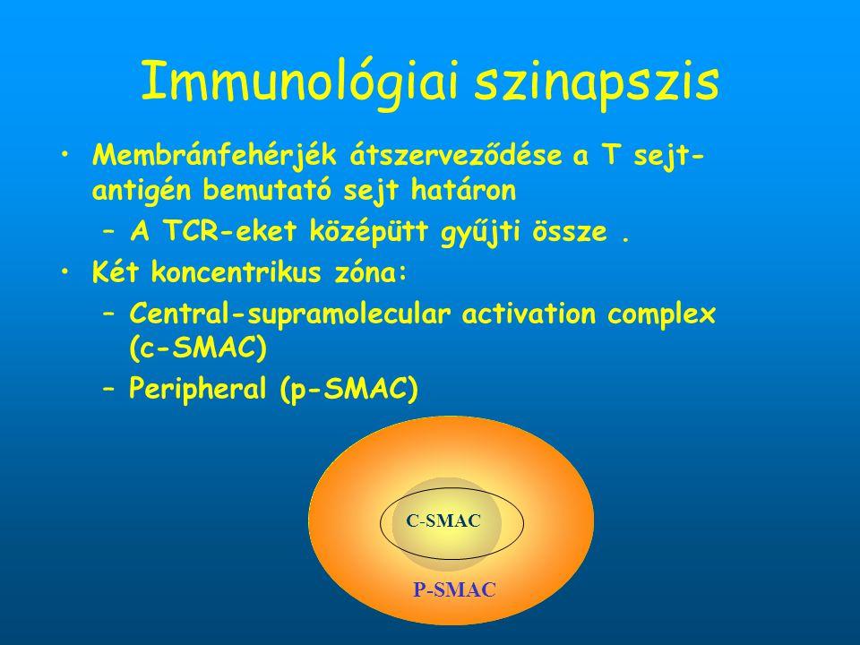 Immunológiai szinapszis Membránfehérjék átszerveződése a T sejt- antigén bemutató sejt határon –A TCR-eket középütt gyűjti össze. Két koncentrikus zón