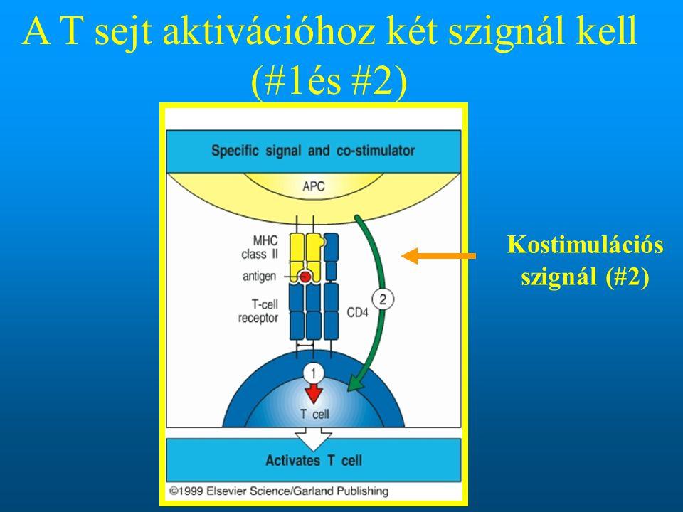 Kostimulációs szignál (#2) A T sejt aktivációhoz két szignál kell (#1és #2)