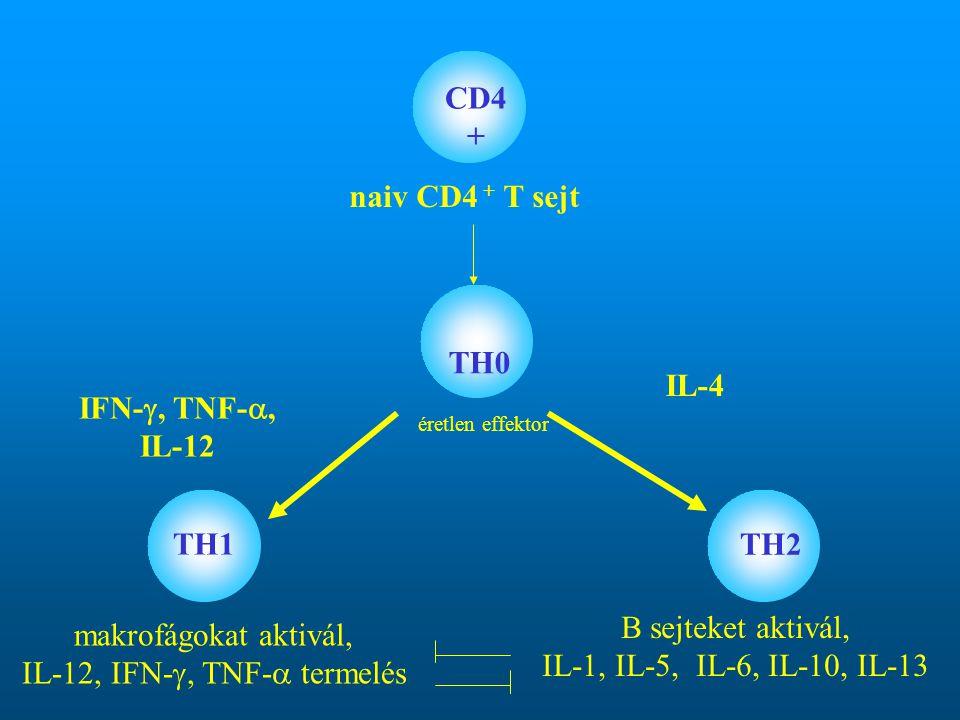 naiv CD4 + T sejt TH0 TH1 TH2 IFN- , TNF- , IL-12 IL-4 CD4 + éretlen effektor makrofágokat aktivál, IL-12, IFN- , TNF-  termelés B sejteket aktivá
