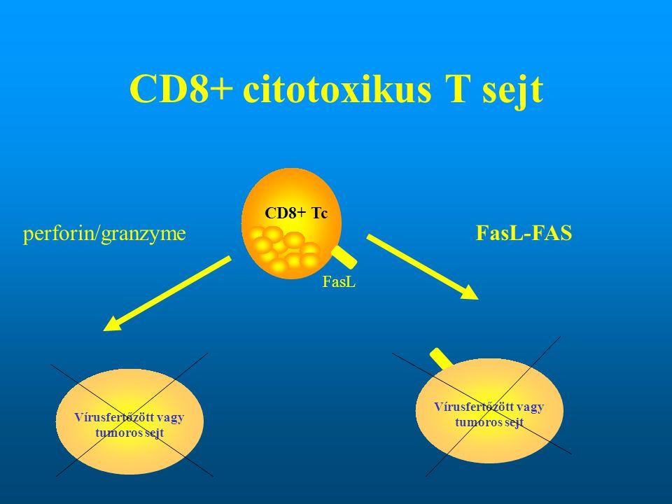 CD8+ Tc Vírusfertőzött vagy tumoros sejt perforin/granzymeFasL-FAS FasL
