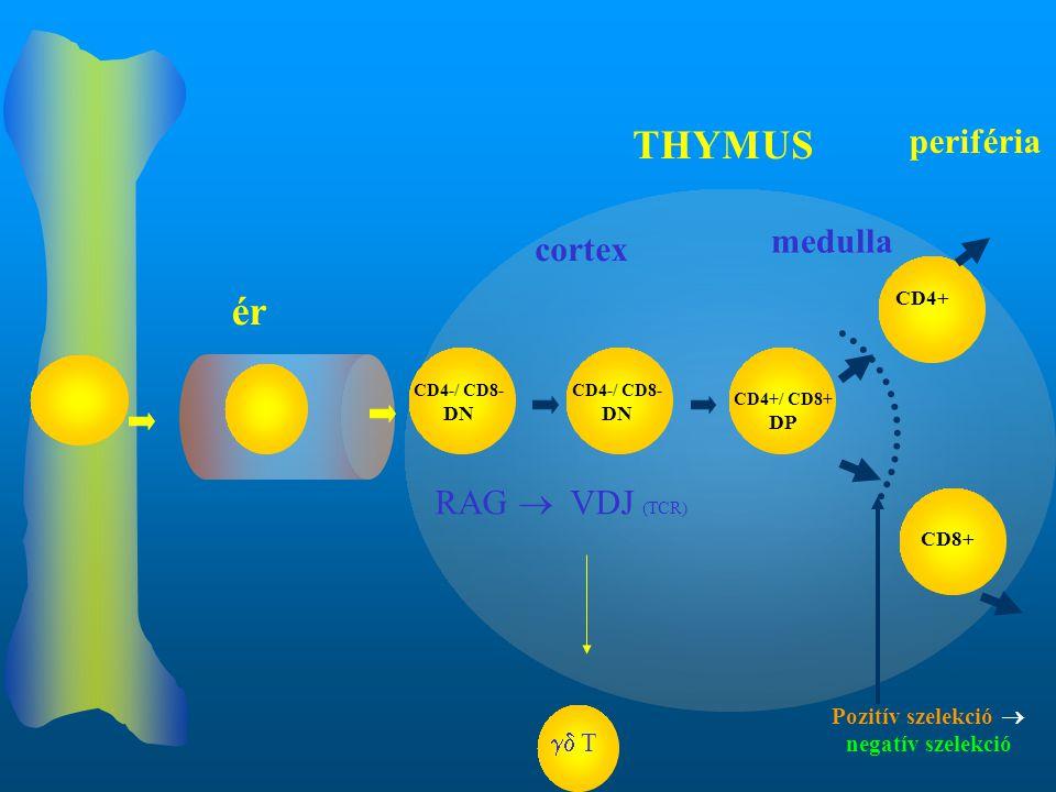 CD4-/ CD8- DN CD4+ CD8+ RAG  VDJ (TCR) ér THYMUS cortex medulla periféria CD4-/ CD8- DN CD4+/ CD8+ DP Pozitív szelekció  negatív szelekció  T