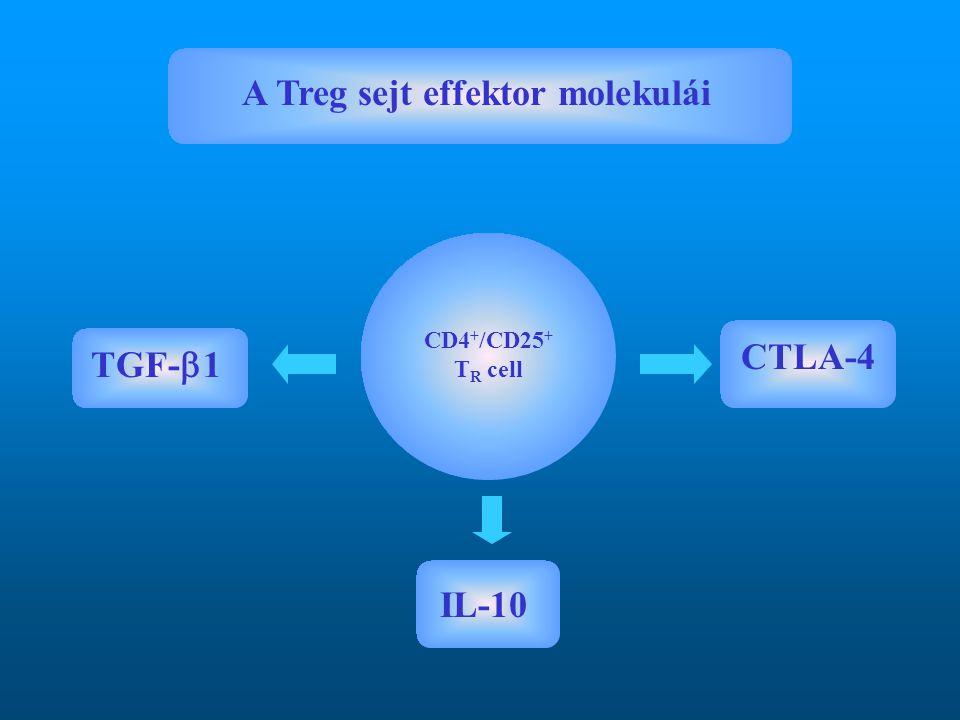 A Treg sejt effektor molekulái TGF-  1 IL-10 CTLA-4 CD4 + /CD25 + T R cell