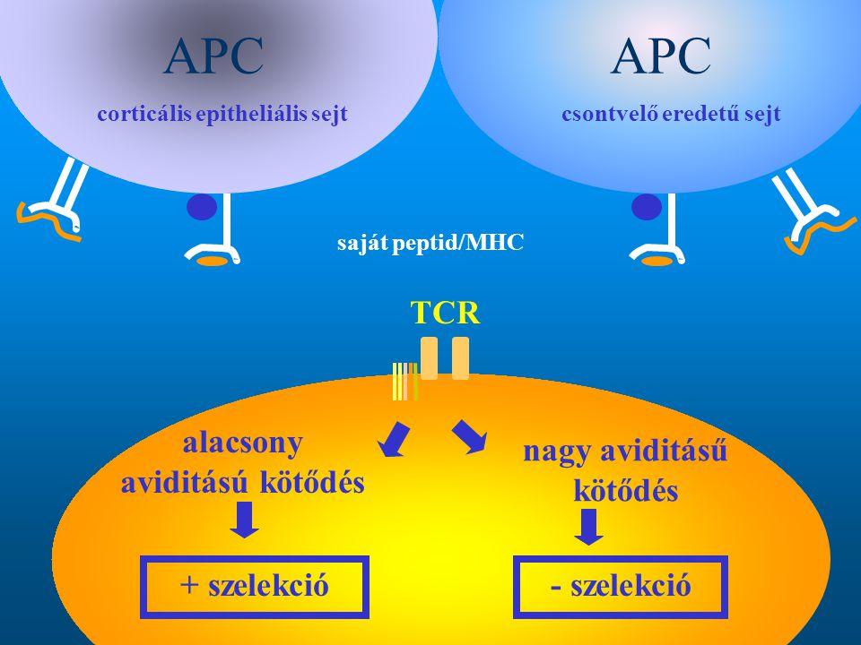 corticális epitheliális sejtcsontvelő eredetű sejt saját peptid/MHC alacsony aviditású kötődés nagy aviditásű kötődés + szelekció- szelekció TCR APC