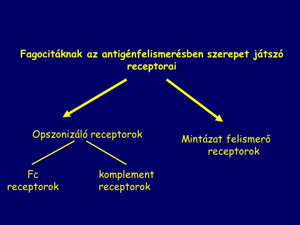 Opszonizáló receptorok Fagocitáknak az antigénfelismerésben szerepet játszó receptorai Mintázat felismerő receptorok Fc receptorok komplement receptorok