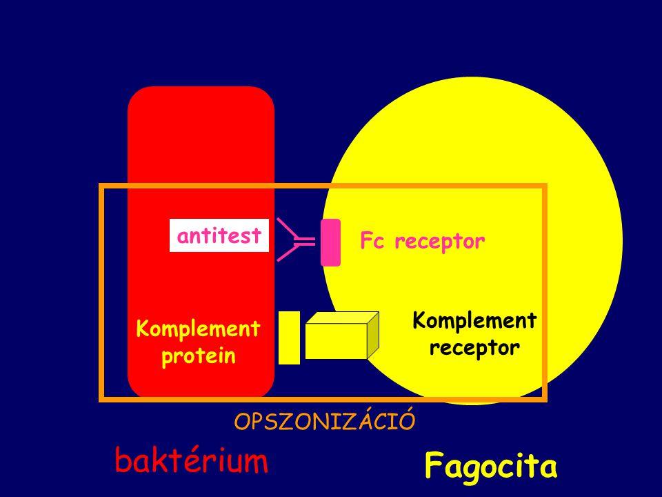 Komplement protein antitest Komplement receptor Fc receptor Fagocita baktérium OPSZONIZÁCIÓ