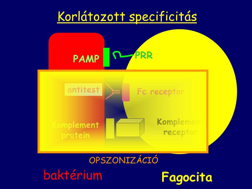 Komplement protein antitest Komplement receptor Fc receptor Fagocita PAMP PRR Korlátozott specificitás baktérium OPSZONIZÁCIÓ