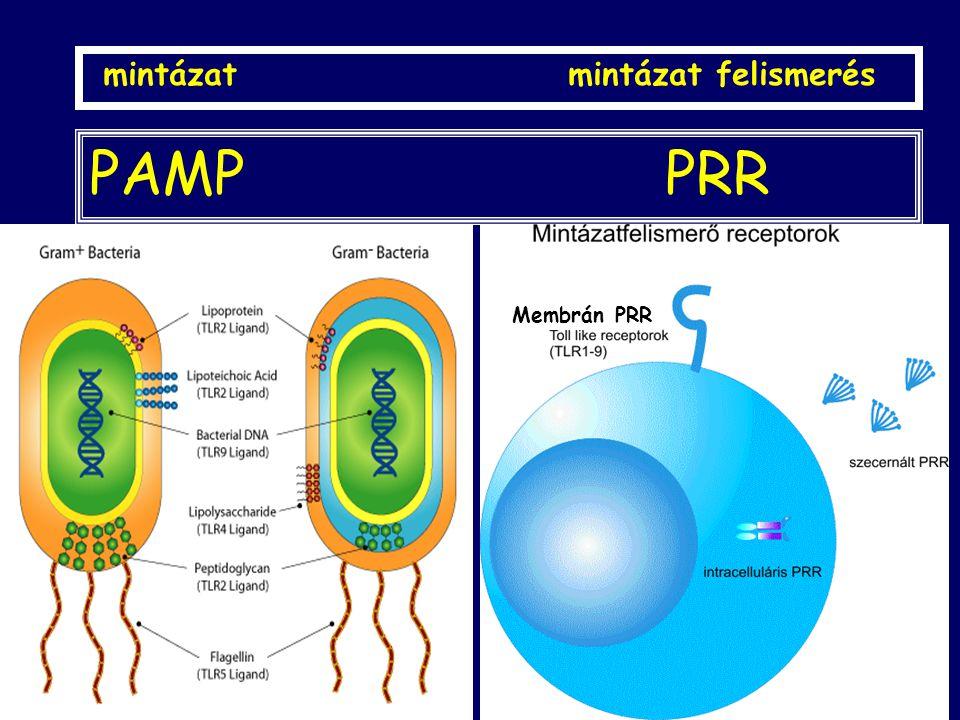PAMP PRR pathogen-associated molecular patterns pattern recognition receptors mintázat mintázat felismerés Membrán PRR