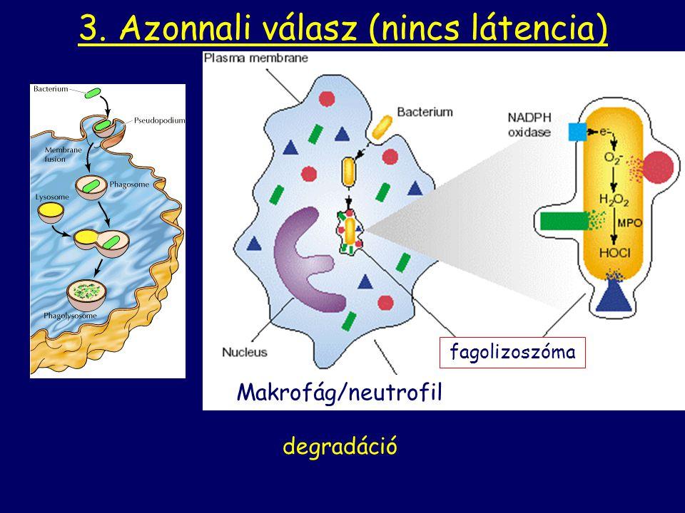 fagolizoszóma 3. Azonnali válasz (nincs látencia) degradáció Makrofág/neutrofil