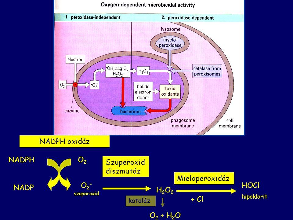 NADPH oxidáz NADPH NADP O2O2 O 2 - szuperoxid Szuperoxid diszmutáz H2O2H2O2 Mieloperoxidáz + Cl HOCl hipoklorit kataláz O 2 + H 2 O