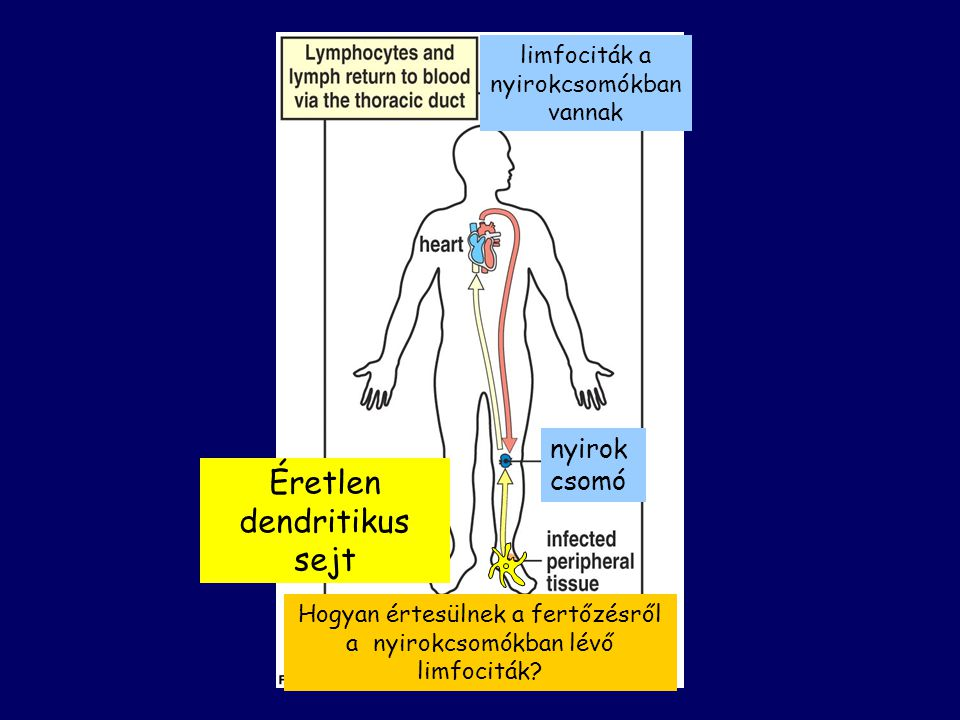 limfociták a nyirokcsomókban vannak Éretlen dendritikus sejt nyirok csomó Hogyan értesülnek a fertőzésről a nyirokcsomókban lévő limfociták