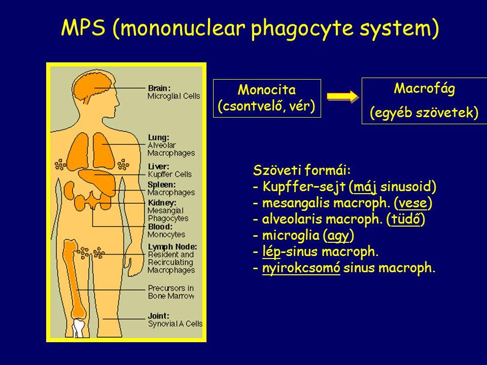 MPS (mononuclear phagocyte system) Monocita (csontvelő, vér) Macrofág (egyéb szövetek) Szöveti formái: - Kupffer–sejt (máj sinusoid) - mesangalis macr