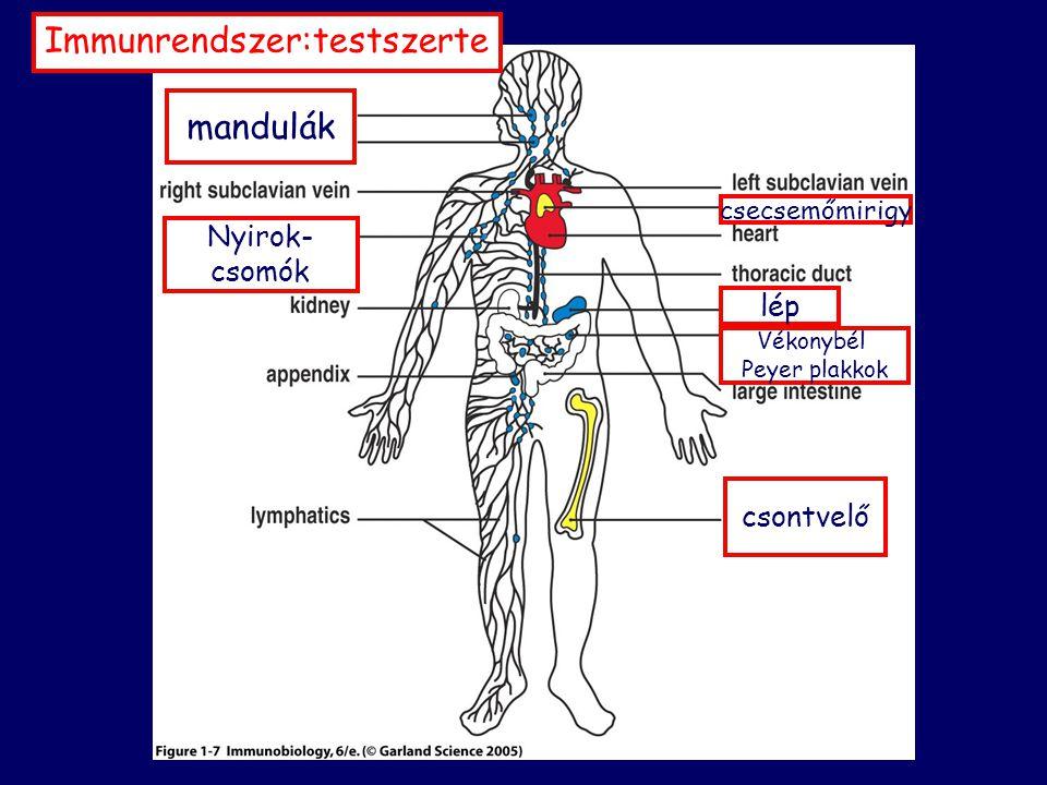 """VELESZÜLETETT SZERZETT (""""innate ) (""""adaptive ) MHC molekulák komplement citokinek neuropeptidek biogén aminok hormonok toxinok adhéziós fehérjék defenzinek antiproteázok antitestek (immunglobulinok) (B-sejt receptor) T-sejt receptor monocita/makrofág dendritikus sejt granulociták NK-limfociták vérlemezkék epitel endotel keratinocita fibroblaszt mikroglia Langerhans sejt B- limfocita T- limfocita (klonális antigénreceptor)"""