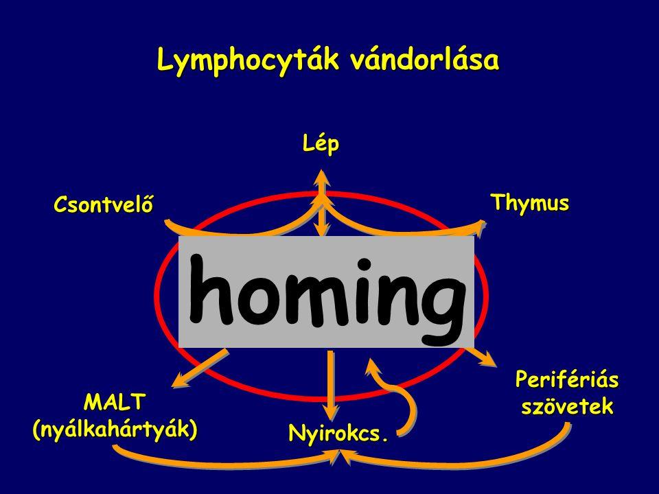 Nyirokcs. Lymphocyták vándorlása Lép Csontvelő Thymus MALT(nyálkahártyák) Perifériásszövetek Lymphocyta-pool a vérben homing