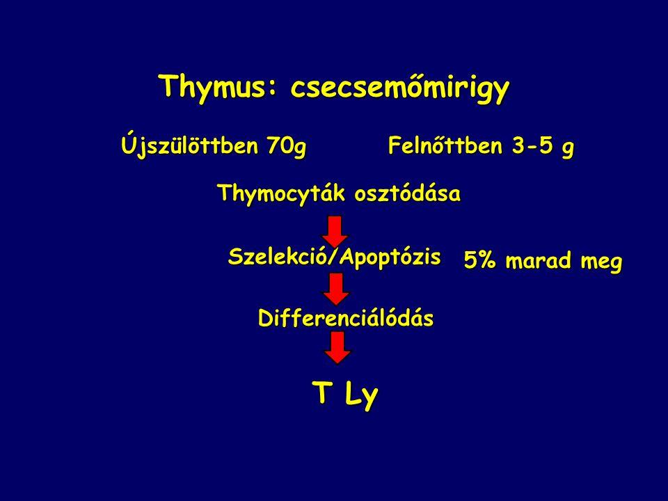 Thymus: csecsemőmirigy Újszülöttben 70gFelnőttben 3-5 g Thymocyták osztódása Szelekció/Apoptózis Differenciálódás T Ly 5% marad meg