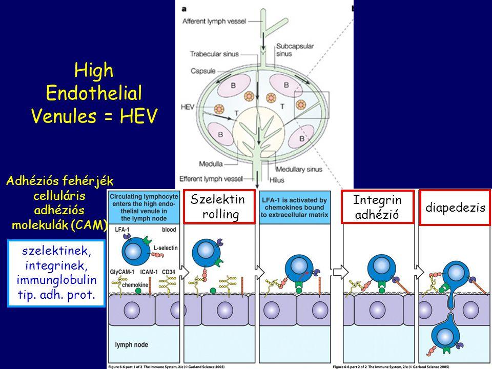 High Endothelial Venules = HEV Szelektin rolling Integrin adhézió diapedezis Adhéziós fehérjék celluláris adhéziós molekulák (CAM) szelektinek, integr