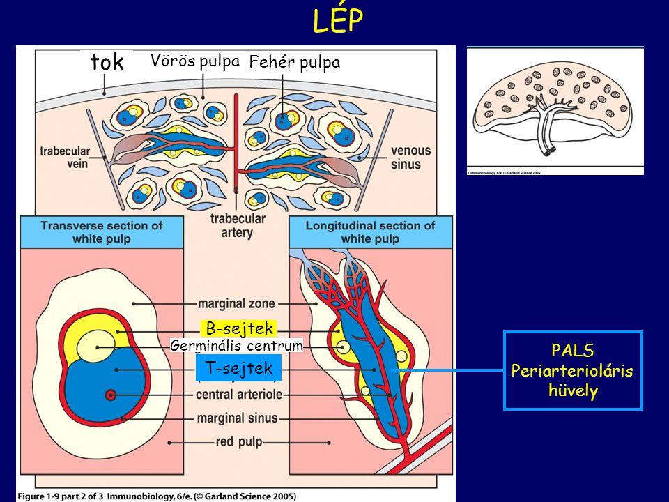 LÉP tok Vörös pulpa Fehér pulpa B-sejtek T-sejtek PALS Periarterioláris hüvely Germinális centrum