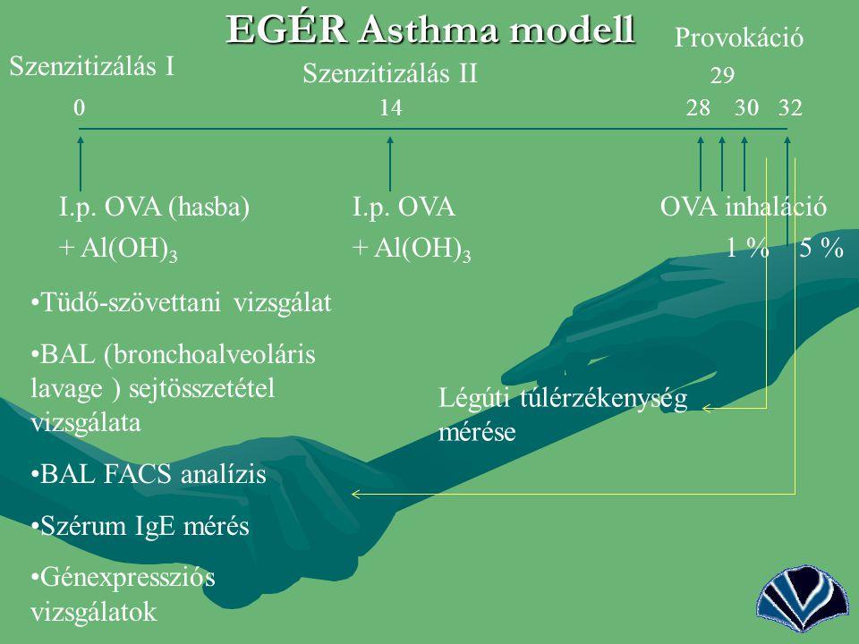 11 EGÉR Asthma modell 29 0 14 28 30 32 I.p. OVA (hasba) I.p. OVAOVA inhaláció + Al(OH) 3 + Al(OH) 3 1 % 5 % Légúti túlérzékenység mérése Tüdő-szövetta