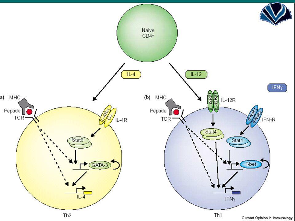 285q31-q33 IL-4, IL-13:  Az IL-4 gén közelében elhelyezkedő mikroszatellita marker és a nem-specifikus (össz) IgE szint között szoros összefüggést találtak.IL-4, IL-13:  Az IL-4 gén közelében elhelyezkedő mikroszatellita marker és a nem-specifikus (össz) IgE szint között szoros összefüggést találtak.