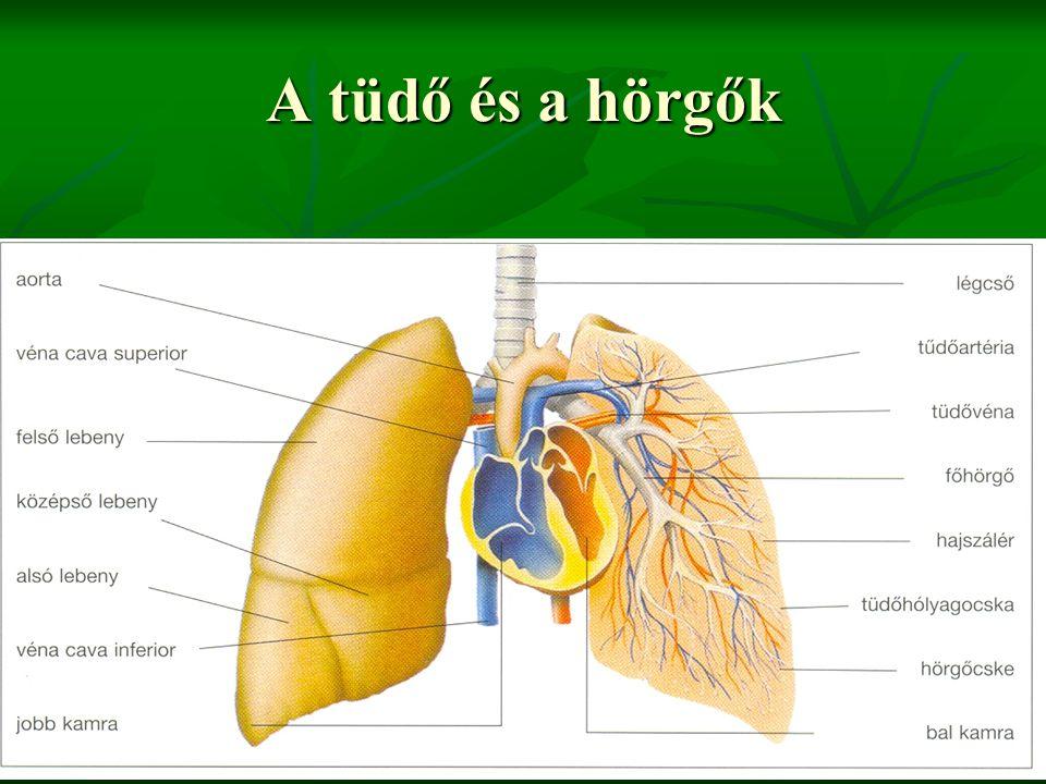 A tüdő és a hörgők