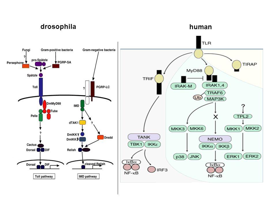 drosophila human