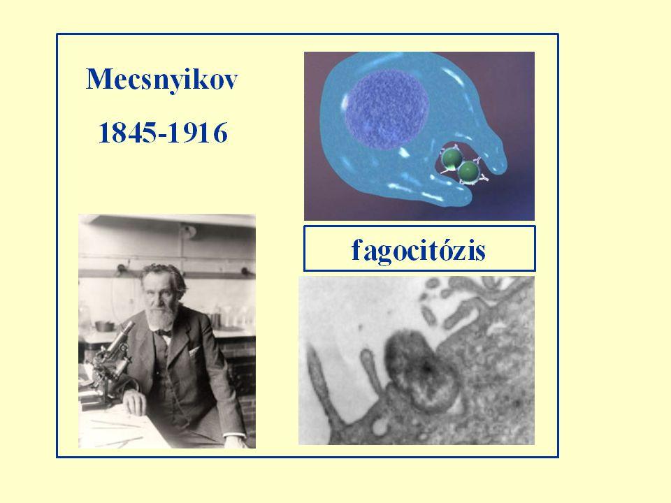 1883 Fagocitózis, a vakcináció sejtes teóriája
