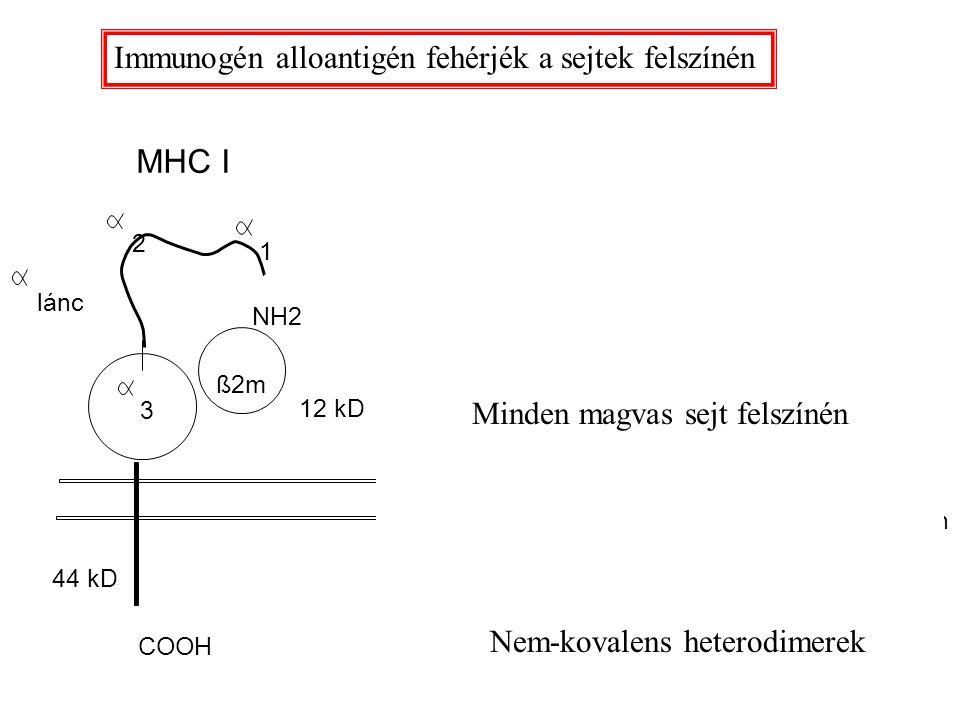 MHC I MHC II ß1 ß2m ß lánc ß2 lánc 1 2 2 3 1 44 kD 34 kD28 kD COOH 12 kD plazmamembrán NH2 Immunogén alloantigén fehérjék a sejtek felszínén Minden ma