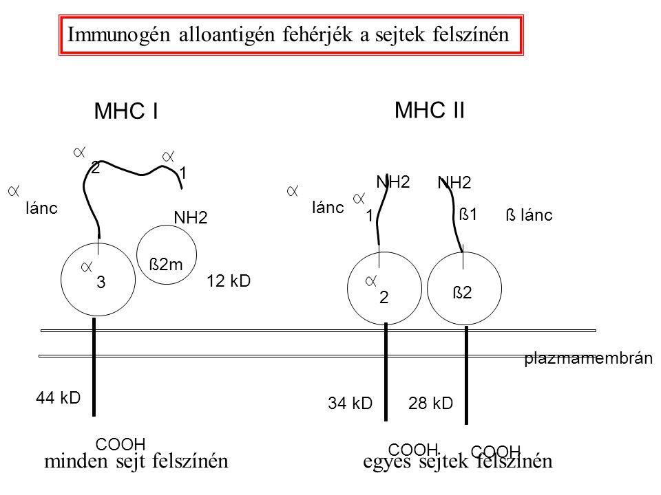 MHC I MHC II ß1 ß2m ß lánc ß2 lánc 1 2 2 3 1 44 kD 34 kD28 kD COOH 12 kD plazmamembrán NH2 Immunogén alloantigén fehérjék a sejtek felszínén minden se