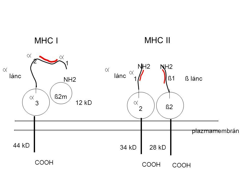 MHC I MHC II ß1 ß2m ß lánc ß2 lánc 1 2 2 3 1 44 kD 34 kD28 kD COOH 12 kD plazmamembrán NH2