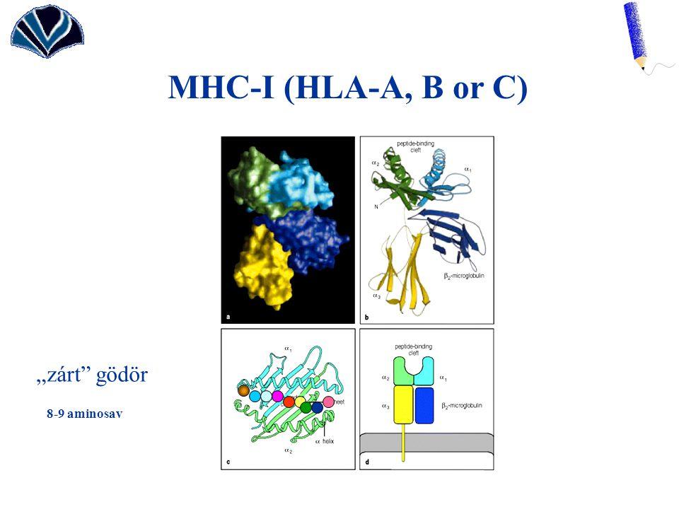 "MHC-I (HLA-A, B or C) ""zárt"" gödör 8-9 aminosav"